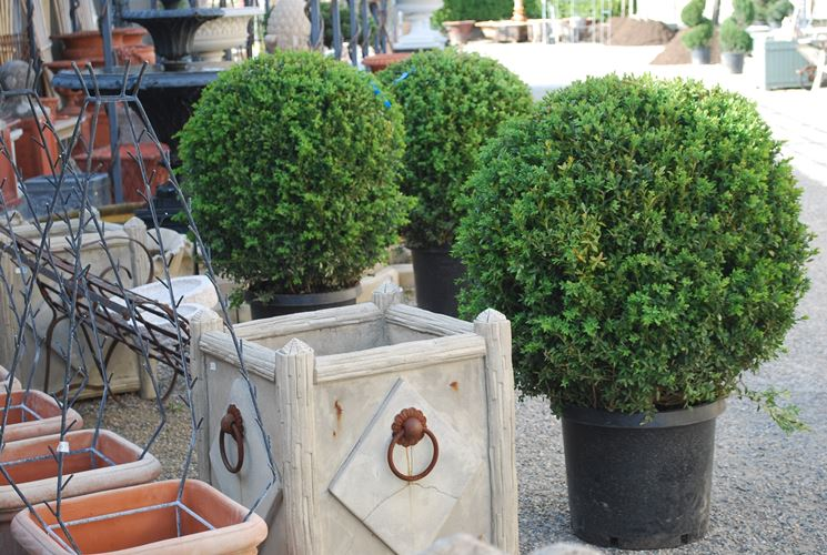Piante da vaso sempreverdi piante da terrazzo piante for Piante per ingresso esterno