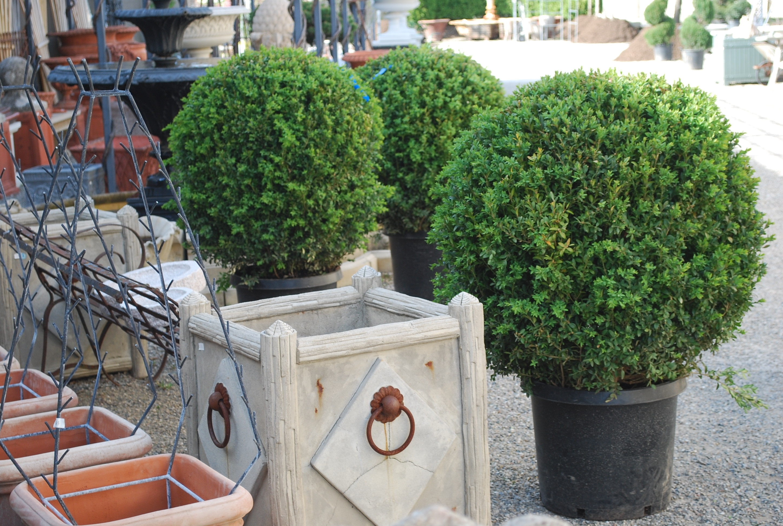 piante da esterno sempreverdi - Piante da Giardino