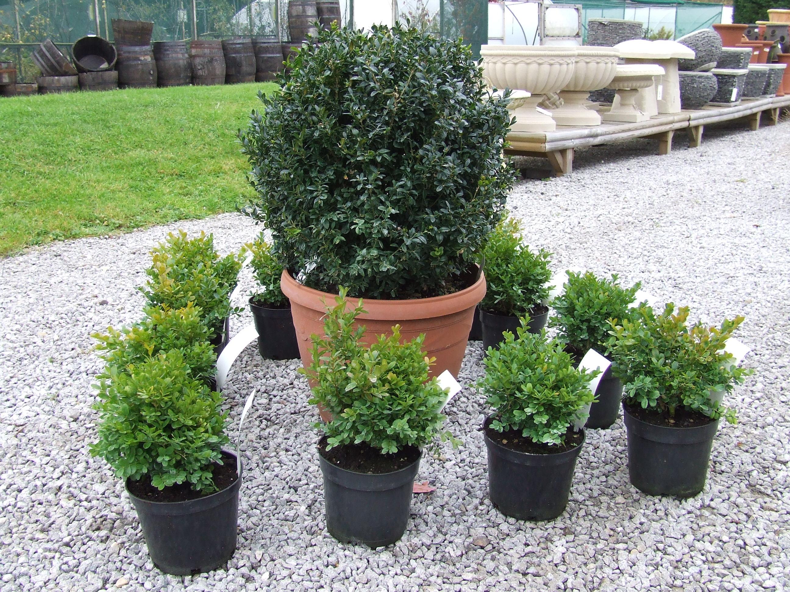 Piante da vaso sempreverdi piante da terrazzo piante for Piante da giardino grandi