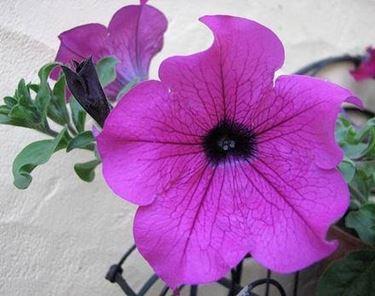 fiore surfinia