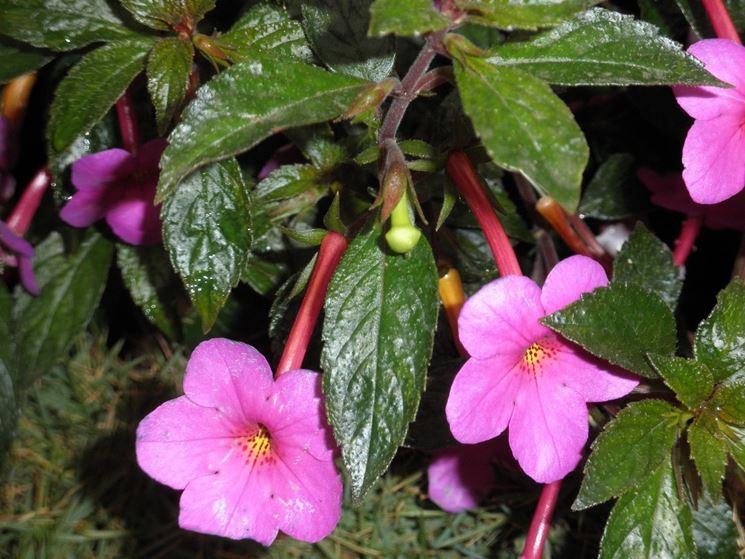 achimene fiori