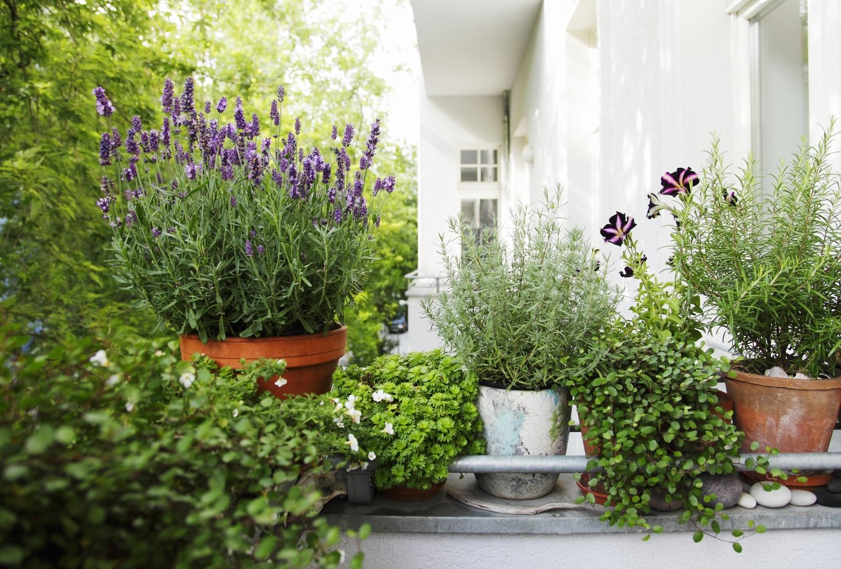 Piante per terrazze piante da terrazzo for Piante da terrazzo sempreverdi