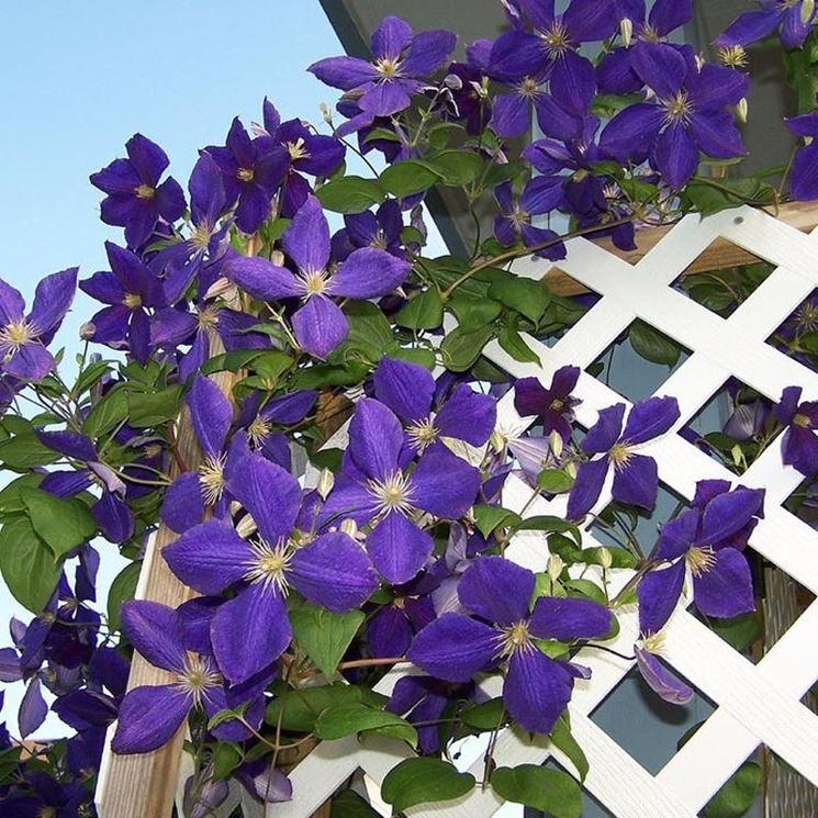 Piante per terrazzo piante da terrazzo quali piante for Piante rampicanti da balcone