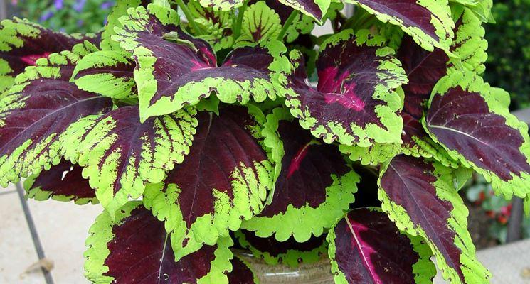 Piante verdi da balcone piante da terrazzo piante - Piante verdi interno ...