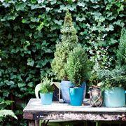 piante da balcone sempreverdi - piante da terrazzo - piante ... - Piante Sempreverdi Da Vaso Balcone