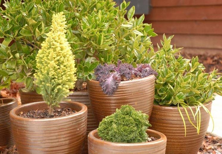 Sempreverdi da terrazzo piante da terrazzo for Piante da terrazzo sempreverdi