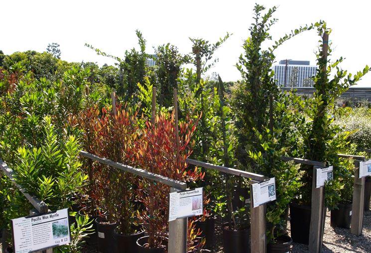 Sempreverdi da terrazzo piante da terrazzo scegliere - Piante sempreverdi per terrazzi ...