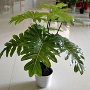 pianta finta