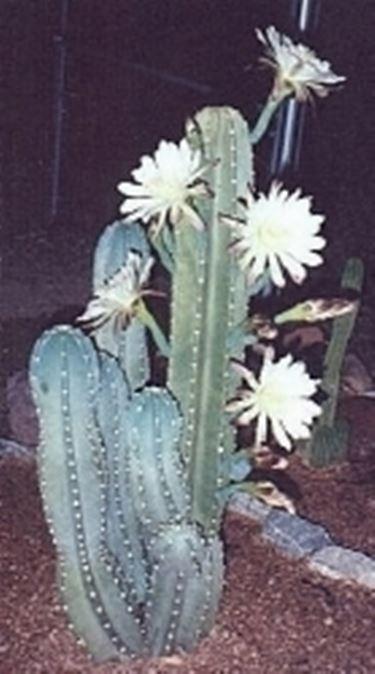cactus malato