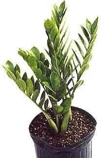 Pianta grassa sofferente domande e risposte piante grasse for Zamioculcas cura