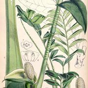 Zamia con foglie gialle domande e risposte piante grasse for Pianta zamioculcas