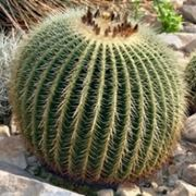 echinocactus