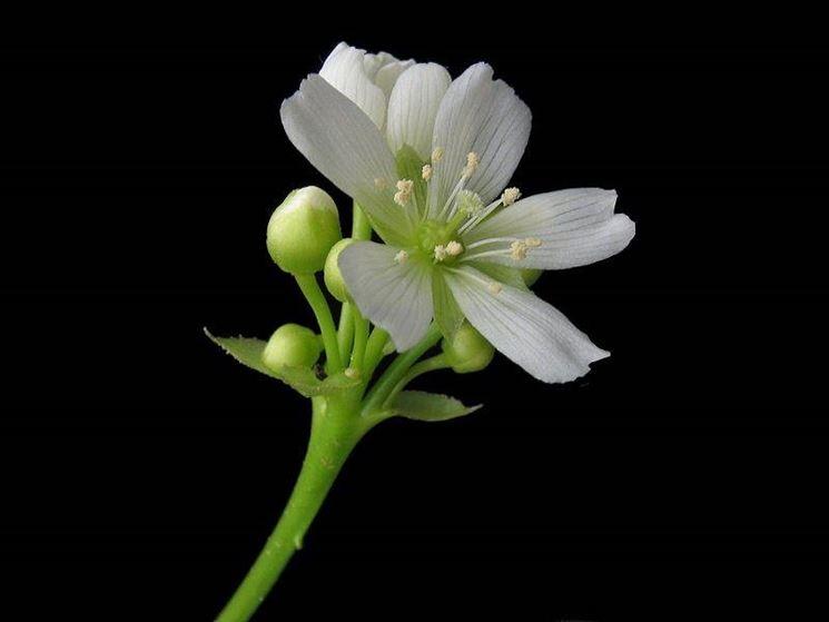 Il fiore della dionea