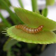 una pianta carnivora
