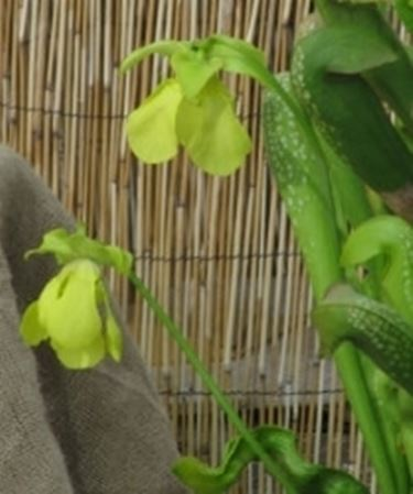 Sarracenia