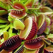 Sarracenia piante carnivore for Pianta carnivora prezzo
