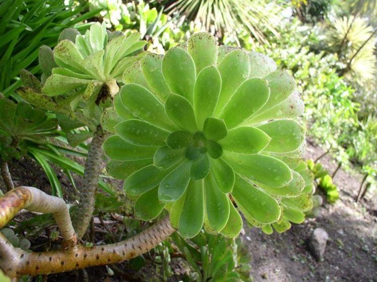 Aeonium pianta