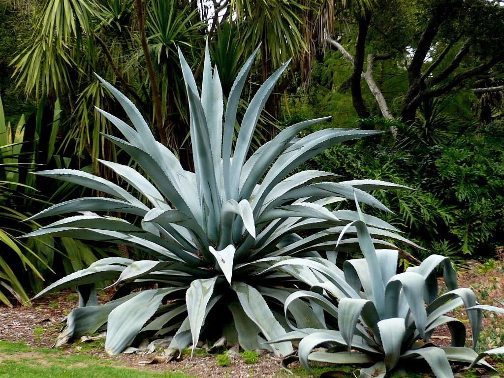 Agave americana piante grasse for Tutte le piante grasse
