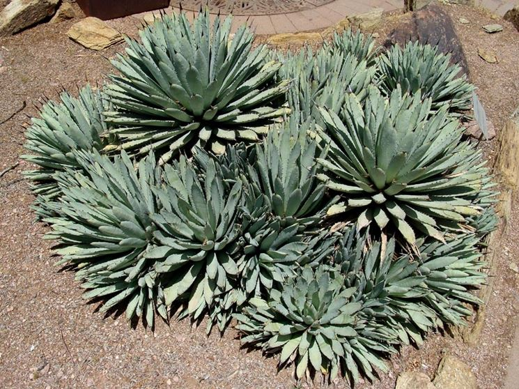 Bellissimo esemplare di Agave Macroacantha