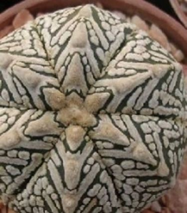 astrophytum ibrido
