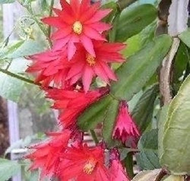 Schlumbergera Buckley