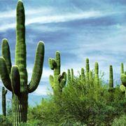 cactus pianta