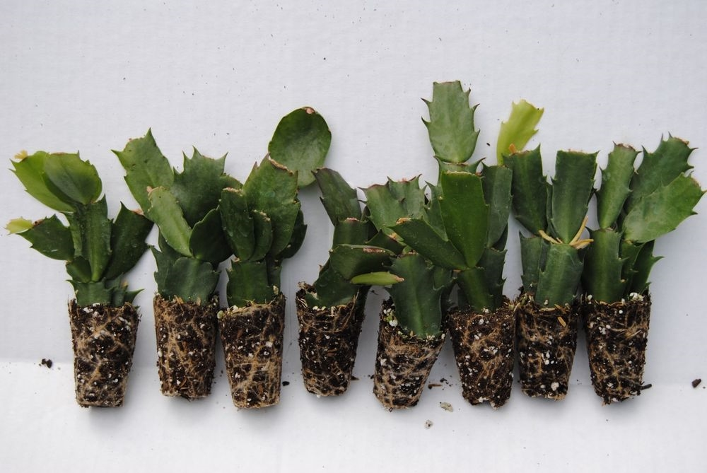 Cactus di natale schlumbergera piante grasse for Pianta cactus