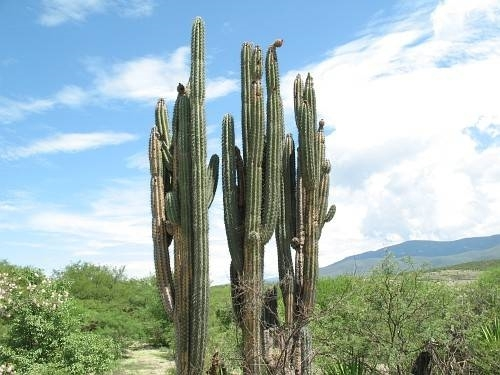 Coltivazione cactus piante grasse for Pianta cactus