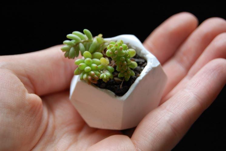 Come curare le piante grasse rare piante grasse cura for Piante rare