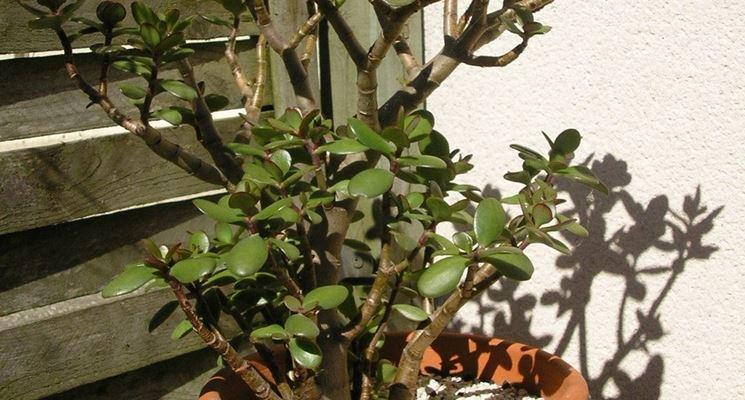 Foglie della Crassula arborescens