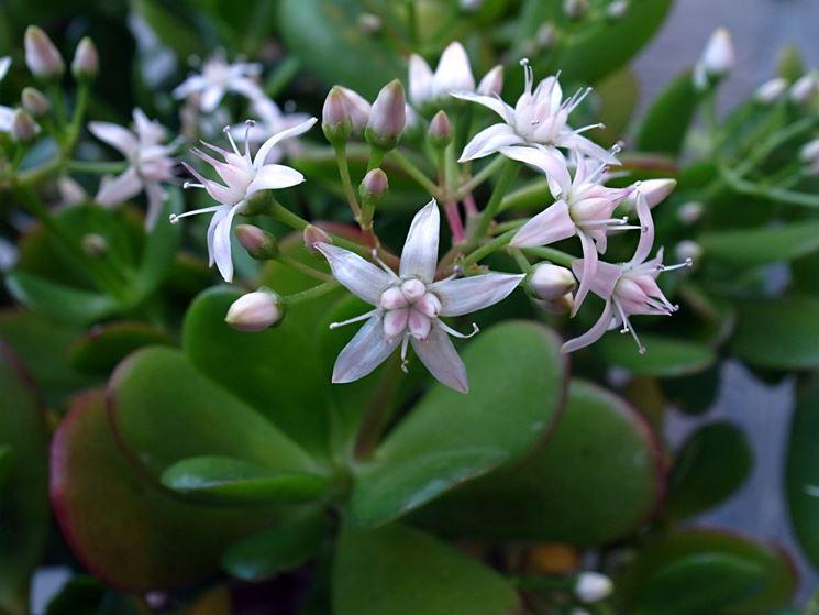 I piccoli fiori della Crassula
