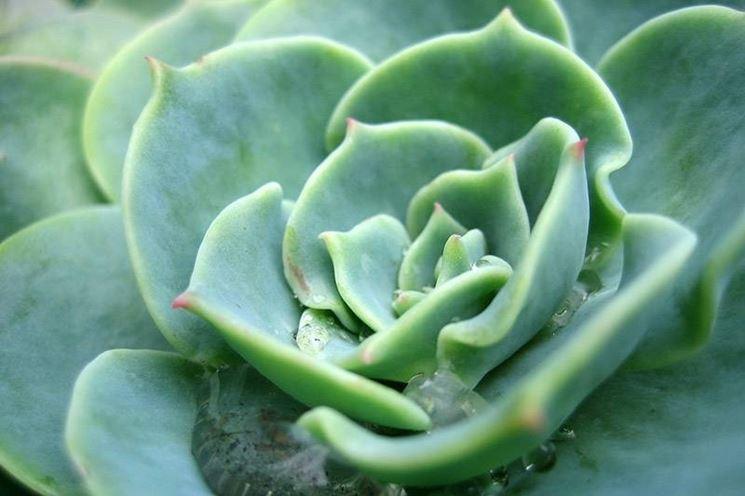pianta grassa