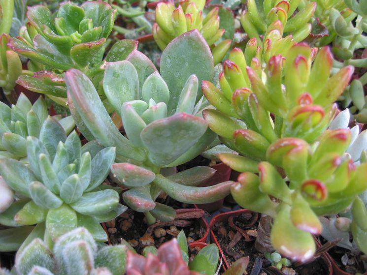 Curare piante grasse piante grasse consigli per la for Tutte le piante grasse