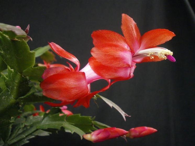 Fiori di epiphyllum