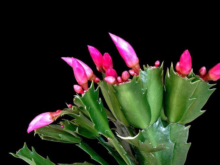Epiphyllum pianta