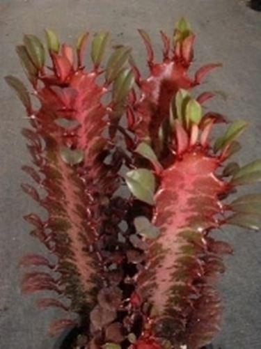 euphorbia trigona purpurea