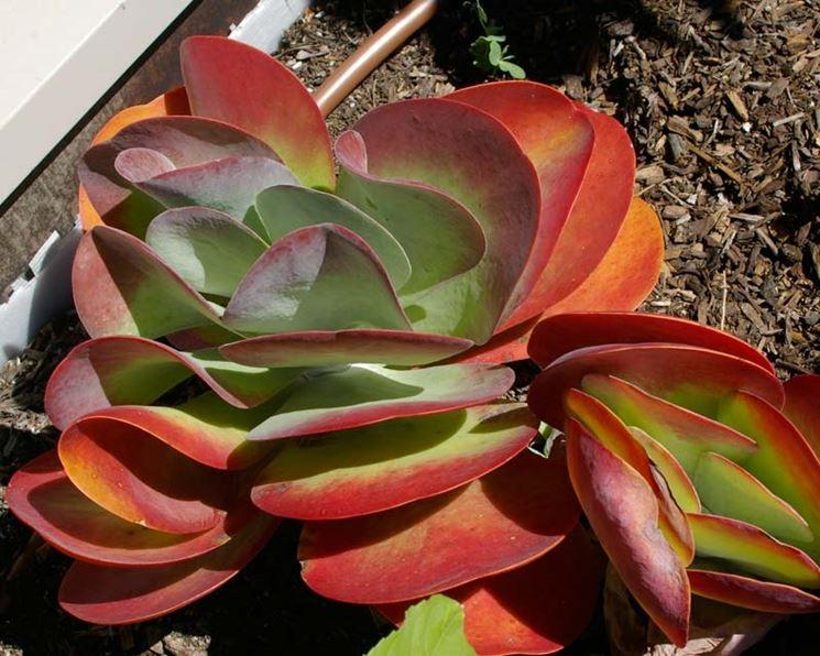 Kalanchoe thyrsiflora pianta