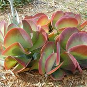 Kalanchoe thyrsiflora piante grasse piante grasse for Kalanchoe cura