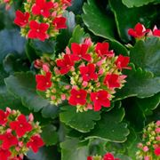 Kalanchoe blossfediana