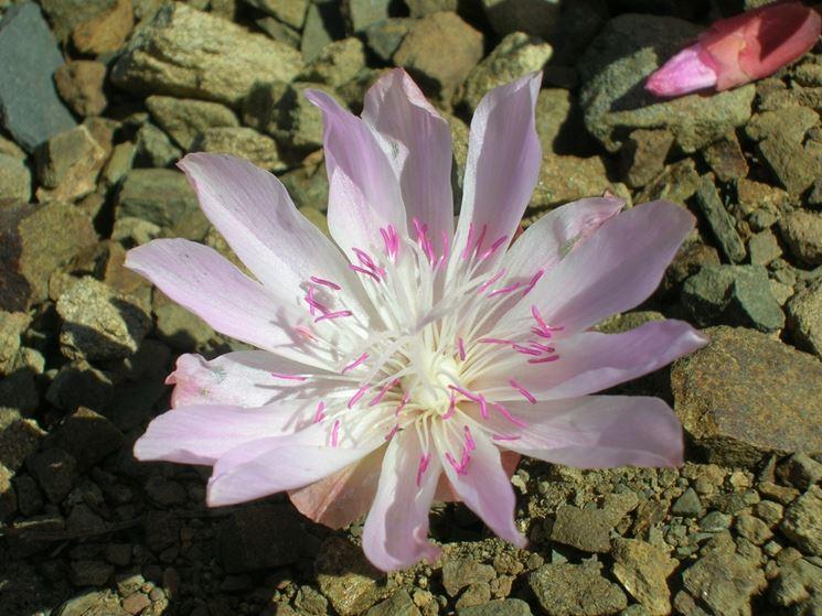 Esemplare lewisia
