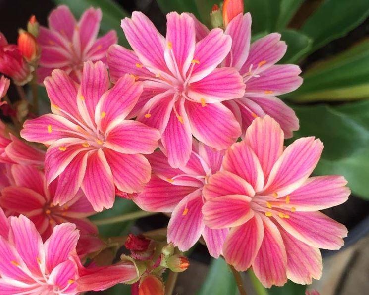 Lewisia fioritura