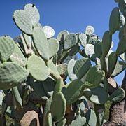 Pianta di Opuntia ficus indica
