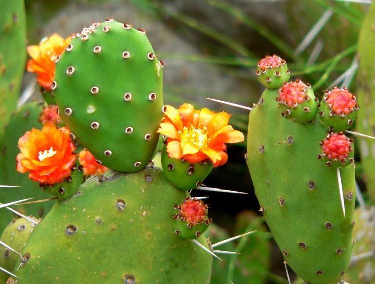 Dettaglio infiorescenza Opuntia ficus indica.