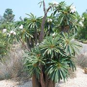 Piante ad alberello cactus di grandi dimensioni for Piante ad alberello