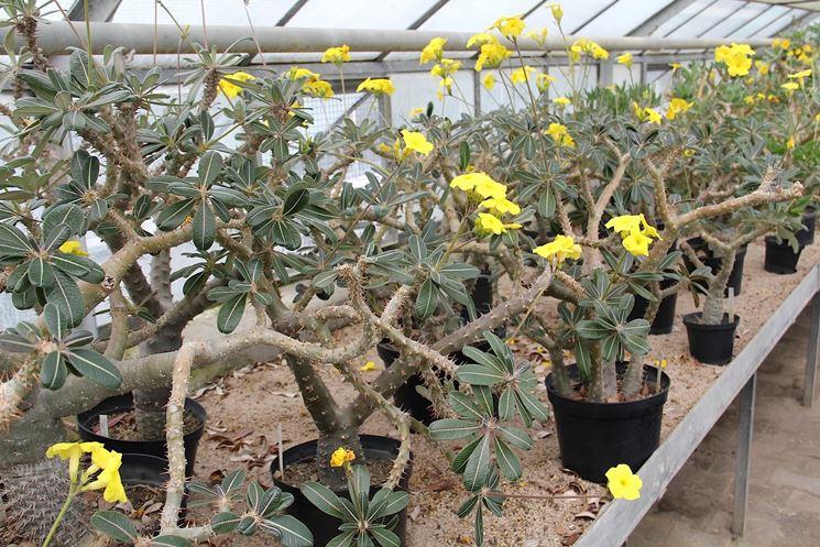 Pachypodium rosulatum in fiore