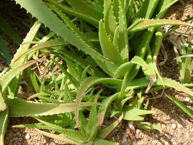 aloe liliacea