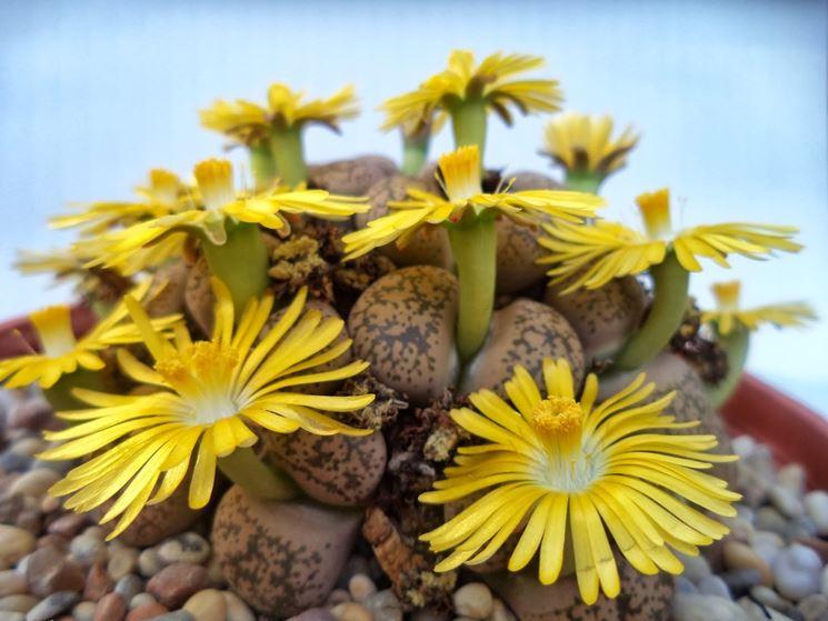Succulente nane Lithops