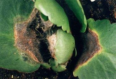 pianta grassa malata