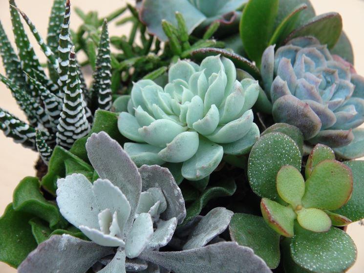 Piante grasse online piante grasse vendita piante for Foto piante grasse particolari