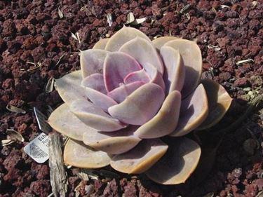 pianta grassa senza spine